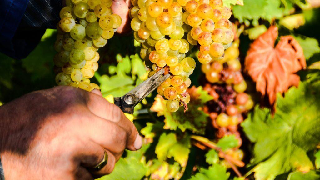 Grape Harvesting Slovenia